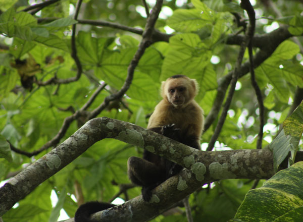 white-faced capuchin monkey in tree