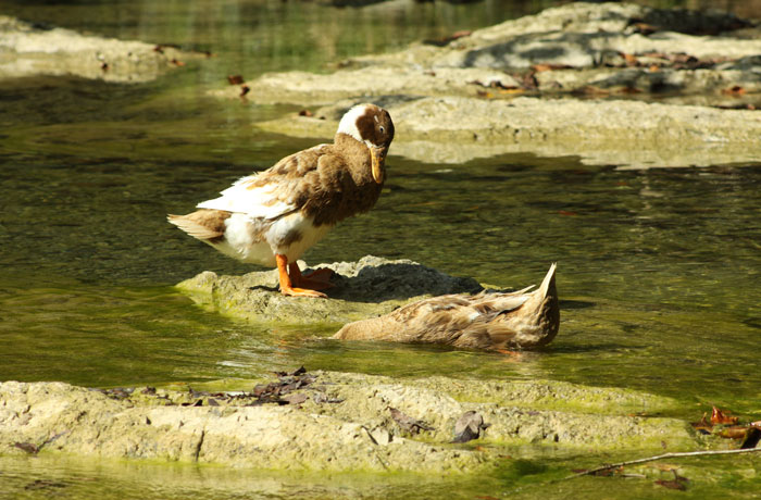 two ducks on rocks and water