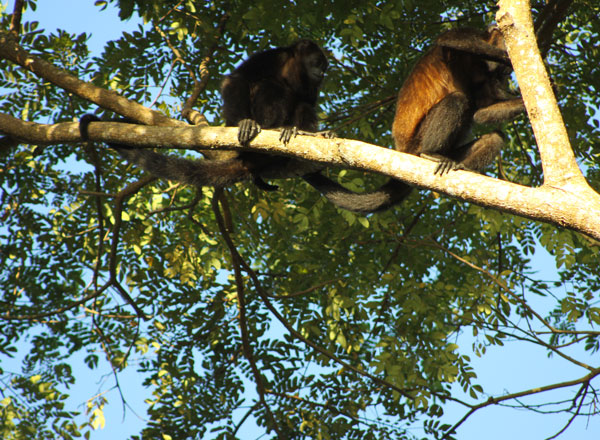 two howler monkeys in tree