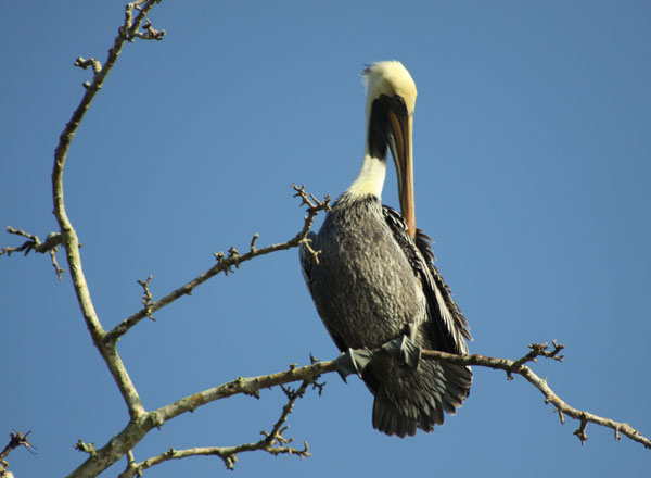 pelican bird in tree